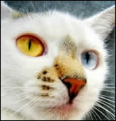 White cat with cat disease