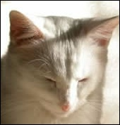 White cat with arthritis